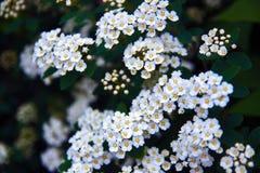 Белые цветки Spirea на Буше на весне Цветки Spiraea сильно оценены в декоративном управлении садовничать и лесохозяйства стоковые фото