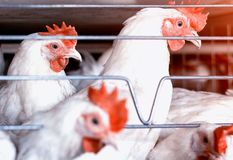 Белые цыплята сидят за решеткой в птицеферме, продукции цыплят бройлера, hennery, конце-вверх стоковое изображение rf