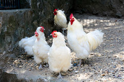 Белые цыплята стоковая фотография rf