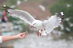 Белые чайки завишут В руках Th Bangpu туристов Стоковые Изображения RF