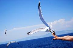 Белые чайки летая в голубое небо, подавая стоковые фото