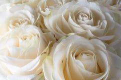 белые чувствительные и красивые розы, мягкий фокус Подарок к женщине стоковое изображение rf