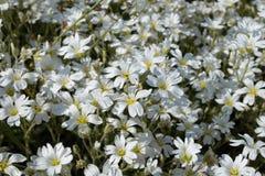Белые чувствительные цветки толсто заполнили flowerbed освещенный вверх на ясный день стоковое изображение