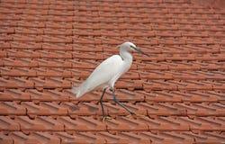 Белые шаги цапли на крыть черепицей черепицей крышу стоковое фото