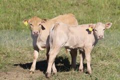 Белые calfs в выгоне Стоковые Изображения