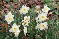 Белые daffodiles Стоковое Изображение RF