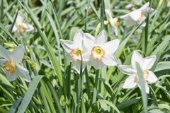 Белые daffodils в природе Стоковые Фото