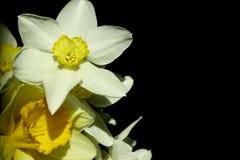 Белые Daffodils на темной предпосылке, конце вверх Стоковое Изображение RF