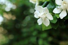 Белые jasminoides Gardenia цветут жасмин накидки с падением воды свежести на лепестке стоковые изображения rf