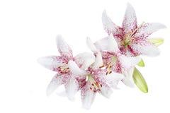 Белые lillies Стоковые Фото