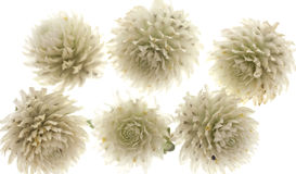 Белые Thistles Стоковое фото RF