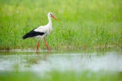 Белый аист, аист аиста, на озере весной Аист в зеленой траве Сцена живой природы от природы Красивая птица в w Стоковые Фотографии RF