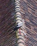 Белый аист, аист аиста, портрет конца-вверх на крыше с defocused предпосылкой, селективным фокусом, отмелым DOF Стоковая Фотография