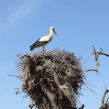 Белый аист в гнезде на дереве Стоковое Изображение