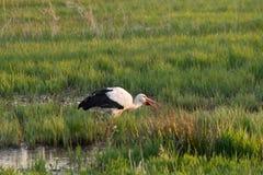 Белый аист есть в поле болота, spingtime стоковые изображения rf
