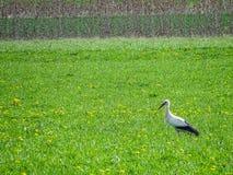 Белый аист ища в зеленом поле для еды Стоковые Изображения RF