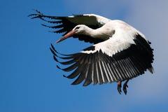 Белый аист летая приходя домой Стоковые Изображения