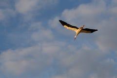 Белый аист летая Стоковые Фотографии RF