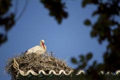 белый аист на гнезде Стоковые Изображения RF