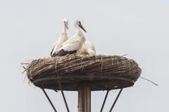 Белый аист сидя на гнезде стоковое изображение