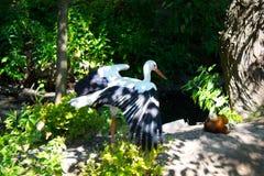 Белый аист стоковое фото