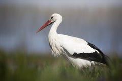 Белый аист - ciconia ciconia Стоковое Фото