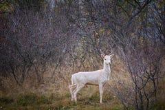 Белый альбинизм рогача альбиноса оленей на roebuck животных стоковое изображение rf