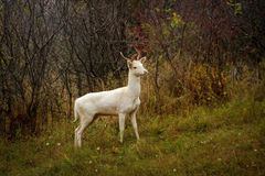 Белый альбинизм рогача альбиноса оленей на roebuck животных стоковая фотография