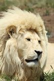 Белый африканский мужской лев стоковое изображение