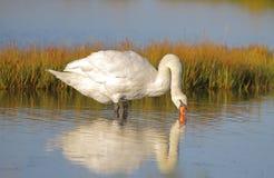 Белый безмолвный лебедь wading на заболоченных местах стоковое фото
