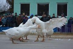 Белый бой глупцов Стоковая Фотография