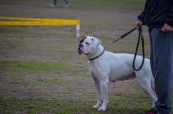 Белый боксер породы собаки осторожно наблюдает действия в кольце Выставка собак стоковые фото