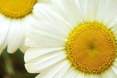 Белый большой стоцвет цветка, конец-вверх стоцвета цветков, желтые средние белые лепестки, конец-вверх стоковое изображение