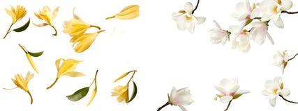 Белый букет цветка магнолии на белой предпосылке стоковые фото