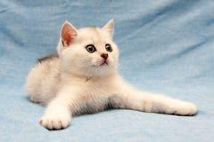 Белый великобританский котенок лежа на голубой предпосылке с широкими передними ногами стоковая фотография rf