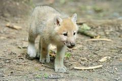 Белый волк в пуще Стоковые Изображения
