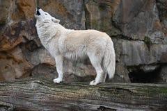 Белый волк завывает для того чтобы вызвать стоковое изображение rf