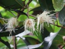Белый, волосатый цветок Юго-Восточной Азии Стоковая Фотография