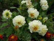 Белый георгин цветок, известный для ослеплять красоты, возбуждает страсть и нажимает на сумашедших поступках стоковые изображения rf