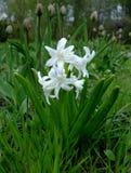 Белый гиацинт растет внутри geen трава сад Стоковые Изображения RF