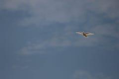 Белый голубь летая стоковая фотография rf