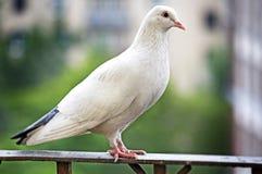 Белый голубь на загородке металла Стоковая Фотография