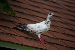 Белый голубь на крыше стоковая фотография rf