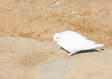 Белый голубь на предпосылке красного песка Стоковая Фотография RF