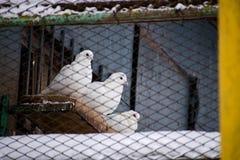 Белый голубь Dovecote на крыше Стоковая Фотография RF