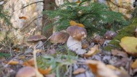 Белый грибок в glade гриба леса фантастичном в сезоне осени Желтые лист падают на крышку гриба korichnivuyu акции видеоматериалы