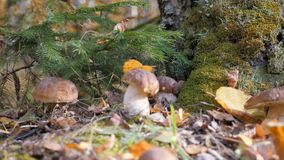 Белый грибок в glade гриба леса фантастичном в сезоне осени Желтые лист падают на крышку гриба korichnivuyu видеоматериал