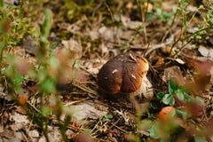 Белый гриб в траве в вегетарианце леса диетическом стоковая фотография rf