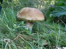 Белый гриб ждет свой охотник Стоковые Изображения RF