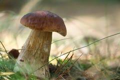 Белый гриб подосиновика в солнечной древесине Стоковое Изображение RF
